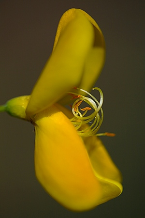 RETAMA NEGRA. Cytisus scoparius. Cistaceas.