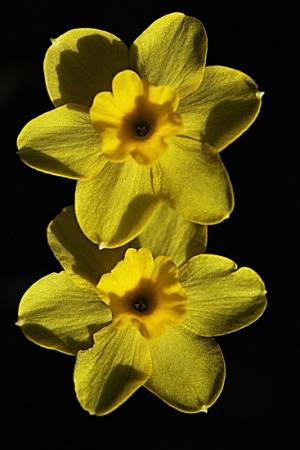 NARCISO DE ROCA. Narcissus rupicola. Amarilidáceas.