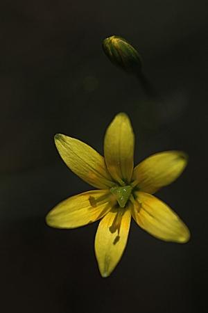 ESTRELLA AMARILLA. Gagea nevadensis. Liliáceas.