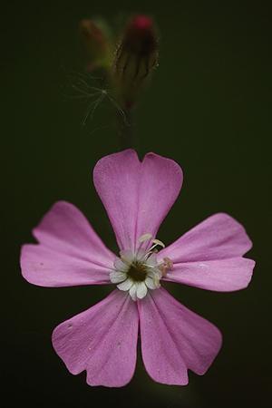 BORBONESA. Silene dioica. Cariofiliáceas.