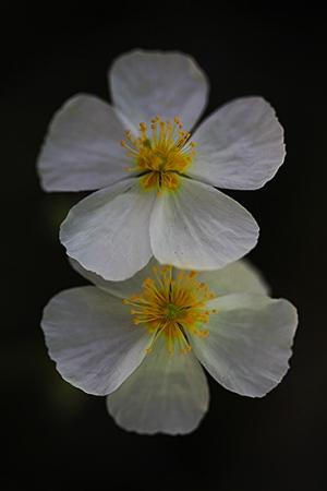 PERDIGUERA. Helianthemum apenninum. Cistáceas.