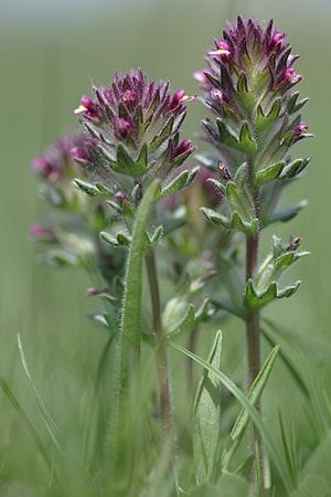 ALGARAVIA. Parentucellia latifolia. Escrofulariáceas.
