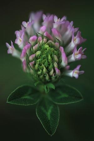 TREBOL DE PRADO.  Trifolium pratense.  Labiadas.