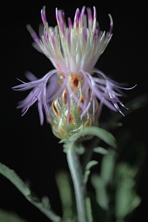 CENTAUREA SERRANA.  Centaurea alba.  Asteraceas.