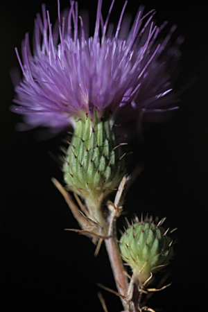 PINCHO BURRERO.  Cirsium monspesulanum.  Asteraceas.