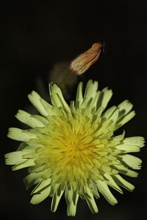 ANDRIALA. Andryala integrifolia. Asteráceas.