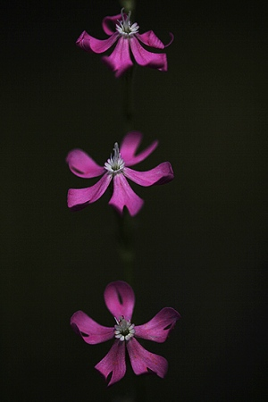 PIRULETAS. Silene scabriflora. Cariofiliáceas.