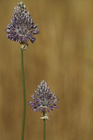 AJILLO DE VERANO. Allium  guttatum subsp. Sardoum. Liliáceas