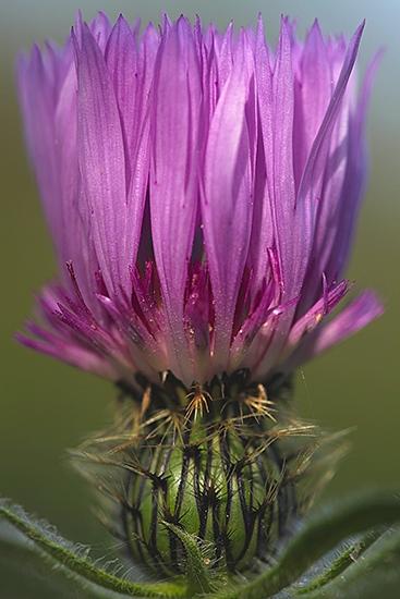 CARDINHO DAS ALMORREIMAS. Centaurea pullata.