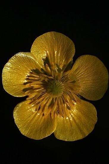 BOTON DE ORO. Ranunculus paludosus.