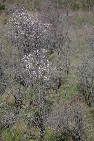 Almendros en flor. Arroyo de la Lastra