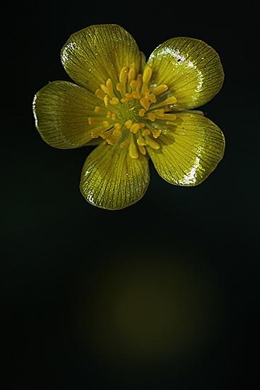 BOTON DE ORO. Ranunculus bulbosus. Ranunculaceas
