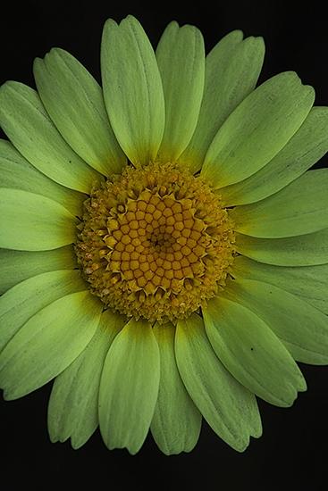 CRISANTEMO PALIDO. Leucanthemompsis pallida. Asteraceas.