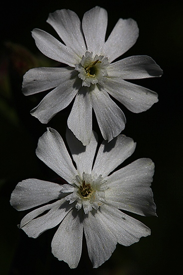 COLLEJA BLANCA. Silene latifolia. Cariofiliáceas.