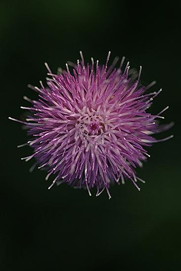 CENTAUREA MAYOR.  Centaurea scabiosa. Asteraceas.