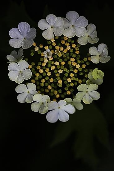 BOLA DE NIEVE. MUNDILLO.  Viburnum opulus.   Capriofiliaceas.