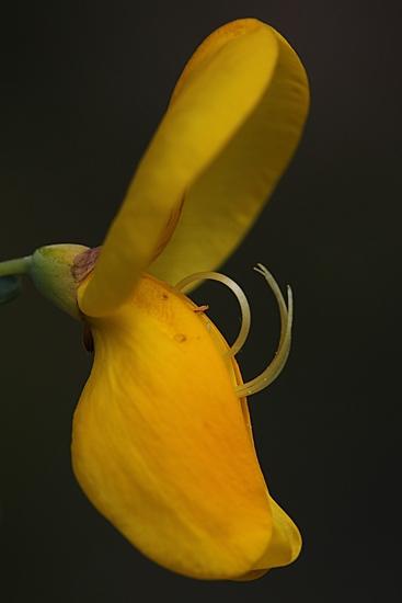 RETAMA NEGRA. Cytisus scoparius. Leguminosas.