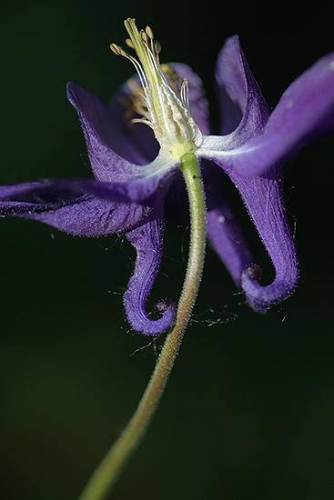 AGUILEÑA. Aquilegia vulgaris. Ranunculáceas.