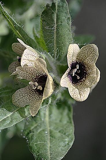 BELEÑO NEGRO. Hyoscyamus niger. Solanáceas.