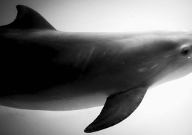 dolphin in cuba, cuban photography fine art by louis alarcon