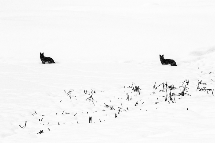 COYOTES-YELLOWSTONE-USA