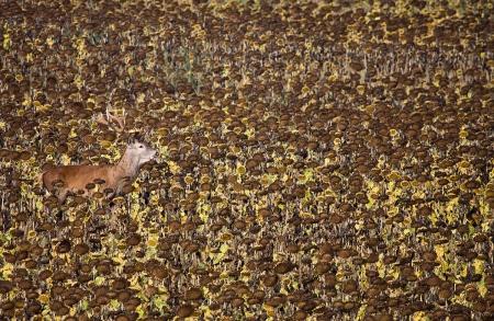 Uge Fuertes, Teruel, arte, creatividad,fotografia, metáfora visual, simbolismo, naturaleza,  vegetal, art, creativity, alma, composición, camuflaje, ciervo, girasoles, cuernos,