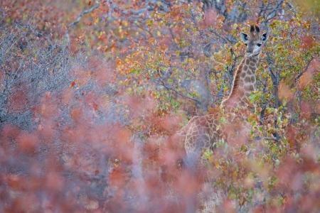 Uge Fuertes, Teruel, arte, creatividad,fotografia, metáfora visual, simbolismo, naturaleza,  vegetal, art, creativity, alma, composición, camuflaje, Jirafa, otoño Giraffe, Kruger, Sudafrica,