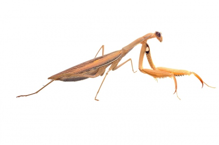 <i>Mantis religiosa. </i>Pregadéu.