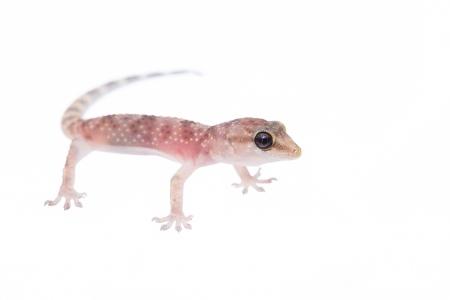 <i>Hemidactylus turcicus. </i> Dragonet.