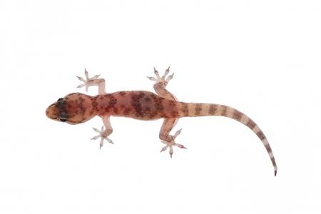 <i>Hemidactylus turcicus.  </i>Dragonet.