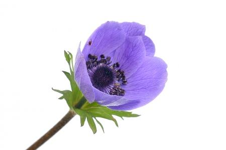 <i>Anemona coronaria. </i>