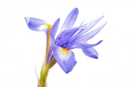 <i>Gynandriris sisyrinchium.</i>