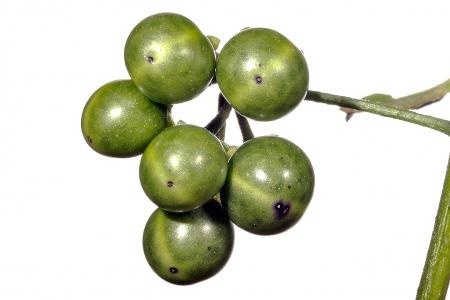 <i>Solanum nigrum</i> (fruto).
