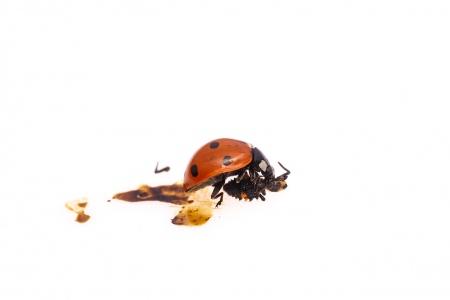 <i>Coccinella septempunctata. </i>Poriol.