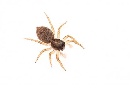 <i>Menemerus semilimbatus </i>(hembra).