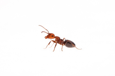 <i>Camponotus lateralis.</i>