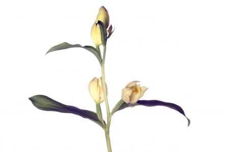 <i>Cephalanthera damasonium. </i>Curraià.