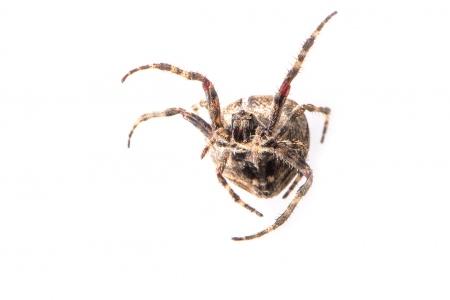 <i>Araneus angulatus.</i>