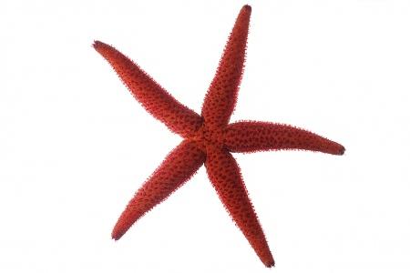 <i>Echinaster sepositus.</i>Estrella vermella.