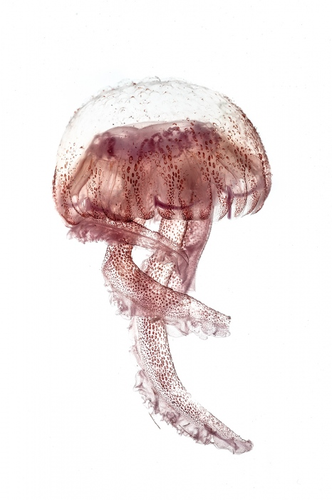 <i>Pelagia Noctiluca. </i>Medusa.