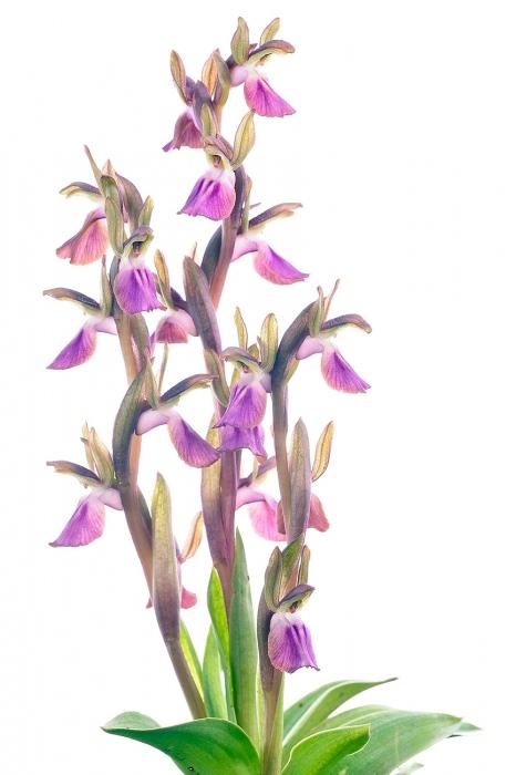 <i>Orchis collina. </i>