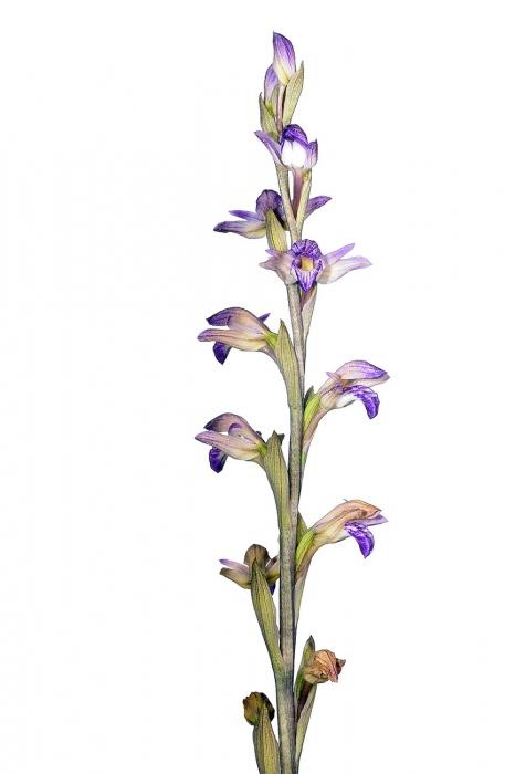 <i>Limodorum abortivum.</i> Clavell.