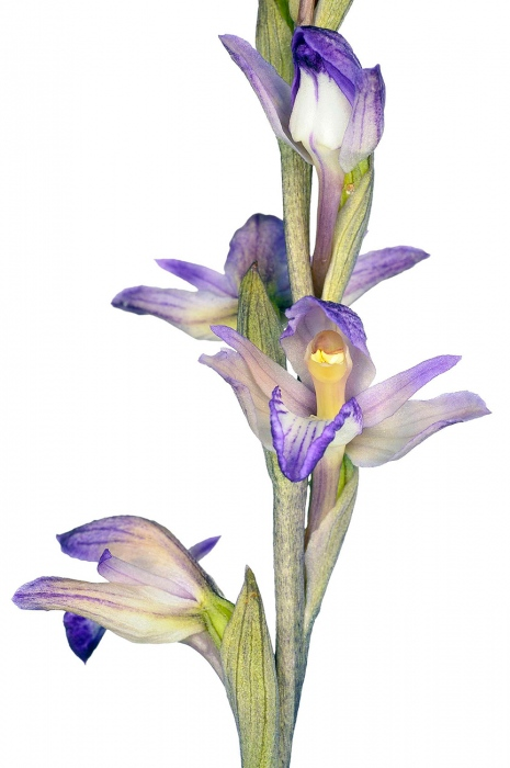 <i>Limodorum abortivum. </i>Clavell.