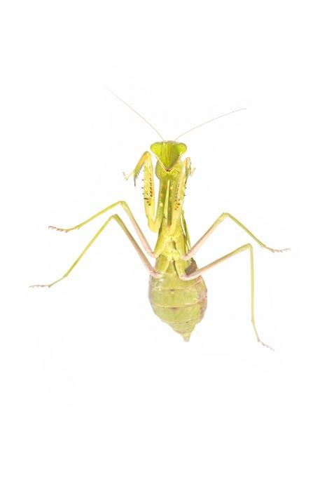 <i>Sphodromantis viridis.</i>