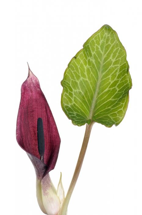 <i>Arum pictum. </i>Lords & ladies.