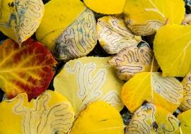 Hojas de Populus tremuloides afectadas por Phyllocnistis populiella