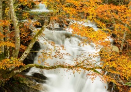 Beech tree at fall. Frenc Pyrenees