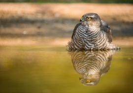 Sparrow hawk (Accipiter nisus)