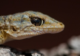 La mirada astuta. Salamanquesa común (Tarentola mauritanica)