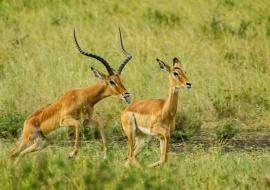 Impalas (Aepyceros melampus) en celo
